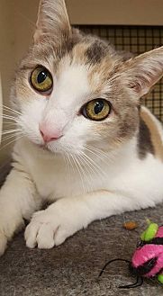 Calico Cat for adoption in Cincinnati, Ohio - Milkshake