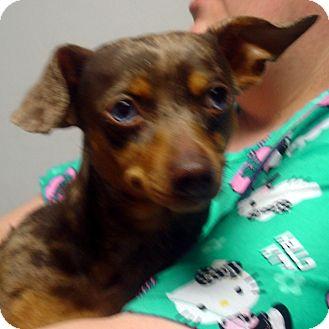 Dachshund/Chihuahua Mix Dog for adoption in Greencastle, North Carolina - Camo