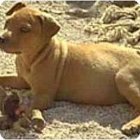 Adopt A Pet :: Ginger - dewey, AZ