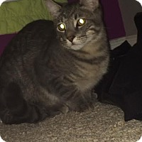 Domestic Shorthair Cat for adoption in Alamo, California - Dylan