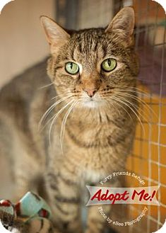 Domestic Shorthair Cat for adoption in West Des Moines, Iowa - Sassy