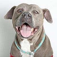 Adopt A Pet :: Capone - Roseville, CA