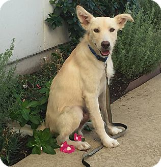 Labrador Retriever/German Shepherd Dog Mix Puppy for adoption in Austin, Texas - Bing