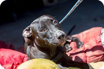 Labrador Retriever Mix Puppy for adoption in Bronx, New York - Midnight