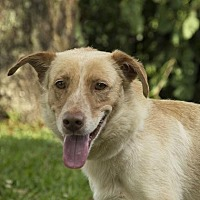 Australian Cattle Dog/Labrador Retriever Mix Dog for adoption in Houston, Texas - Peyton