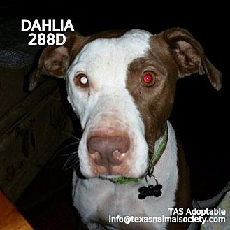 Staffordshire Bull Terrier Dog for adoption in Spring, Texas - Dahlia