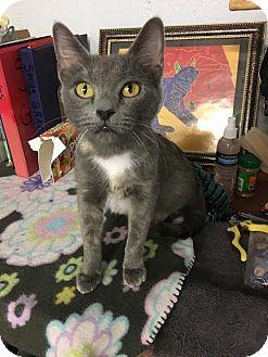 Domestic Shorthair Cat for adoption in St. Louis, Missouri - Hocus