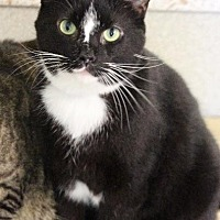 Domestic Shorthair Cat for adoption in Fremont, Ohio - Oreo