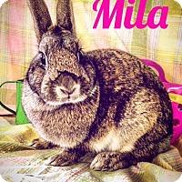 Adopt A Pet :: Mila - Paramount, CA