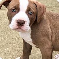 Adopt A Pet :: GIBSON - Harrisburg, PA