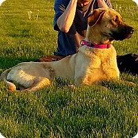 German Shepherd Dog/Mastiff Mix Dog for adoption in Kouts, Indiana - Maddie