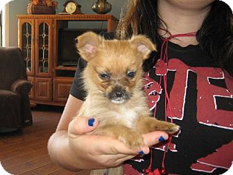Pomeranian/Yorkie, Yorkshire Terrier Mix Puppy for adoption in Salem, New Hampshire - Shirley