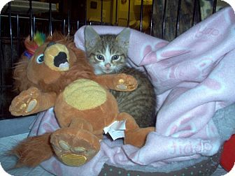 Domestic Shorthair Kitten for adoption in Toronto, Ontario - Itsy Bitsy