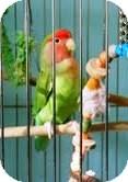 Lovebird for adoption in Lenexa, Kansas - Skitters