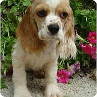 Adopt A Pet :: Maci - Sugarland, TX