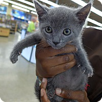 Adopt A Pet :: Molly - Lighthouse Point, FL
