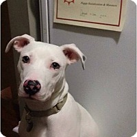 Pit Bull Terrier Mix Puppy for adoption in Boiling Springs, Pennsylvania - Olaf