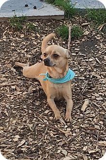 Chihuahua Dog for adoption in Va Beach, Virginia - Edgar