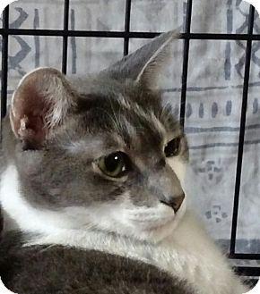 Domestic Shorthair Cat for adoption in Yuba City, California - Lizzie