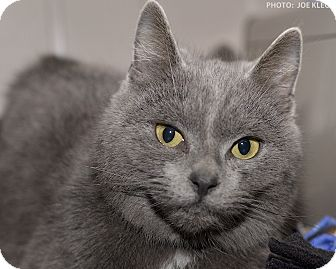Domestic Shorthair Cat for adoption in Medina, Ohio - Emma