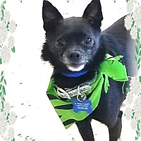 Adopt A Pet :: Little Bit bonded with Squirt - Las Vegas, NV