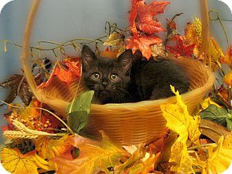 Domestic Shorthair Kitten for adoption in Richmond, Virginia - Cinders