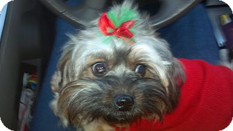 Yorkie, Yorkshire Terrier/Poodle (Miniature) Mix Dog for adoption in Hazard, Kentucky - Crissy