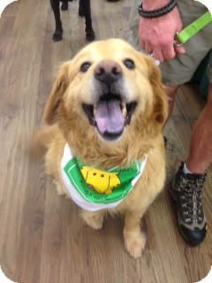 Golden Retriever Mix Dog for adoption in White River Junction, Vermont - King