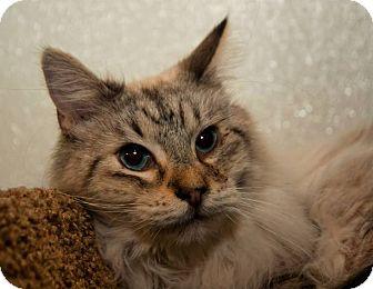 Siamese Cat for adoption in Tucson, Arizona - Hercules