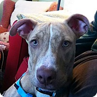 Adopt A Pet :: Lemmy - Newtown, CT
