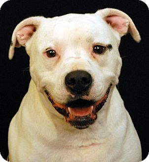 Pit Bull Terrier Dog for adoption in Newland, North Carolina - Nixi