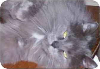 Maine Coon Cat for adoption in cincinnati, Ohio - Ashley