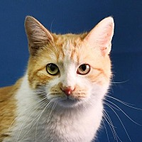 Adopt A Pet :: Copper - Overland Park, KS
