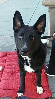 German Shepherd Dog Dog for adoption in Mission Viejo, California - Oso