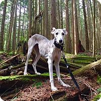 Adopt A Pet :: Ashanti - Vancouver, BC