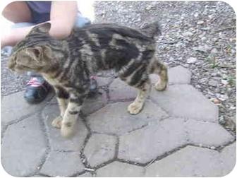 Manx Cat for adoption in Maxwelton, West Virginia - Sweetest BOY