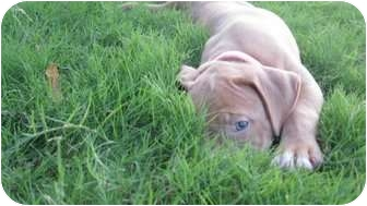 American Bulldog Mix Puppy for adoption in Plano, Texas - Dolly