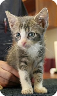 Domestic Shorthair Kitten for adoption in Secaucus, New Jersey - Sausage