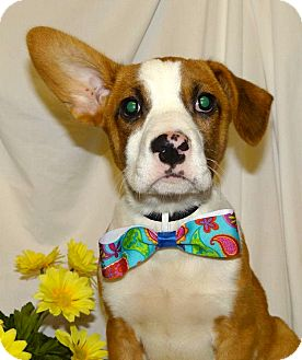 Boxer/Basenji Mix Puppy for adoption in Westport, Connecticut - *Connor - PENDING
