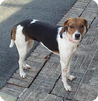 Hound (Unknown Type) Mix Dog for adoption in Schererville, Indiana - Bridgette