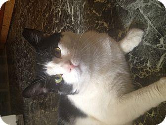 Domestic Shorthair Cat for adoption in Medford, Massachusetts - Sylvester