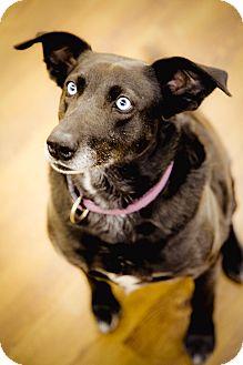 Labrador Retriever/Husky Mix Dog for adoption in Lake Odessa, Michigan - Tesla