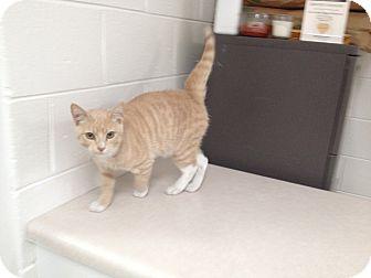 American Shorthair Cat for adoption in Lancaster, Virginia - Otis