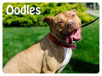 Bull Terrier/Boston Terrier Mix Dog for adoption in Avon, Ohio - Oodles