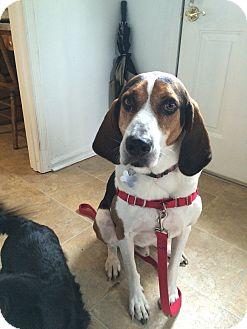 Coonhound/Hound (Unknown Type) Mix Dog for adoption in Richmond, Virginia - Wyatt