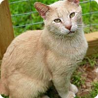 Adopt A Pet :: Chester - San Antonio, TX