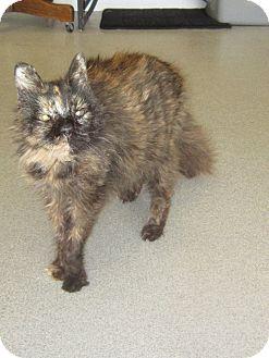 Domestic Longhair Cat for adoption in Toledo, Ohio - Pandora