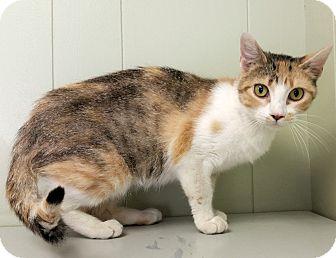Calico Cat for adoption in Indianola, Iowa - C-2