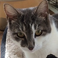 Domestic Shorthair Cat for adoption in Mobile, Alabama - Gabby