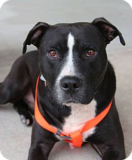Labrador Retriever/American Staffordshire Terrier Mix Dog for adoption in Golsboro, North Carolina - AMOS
